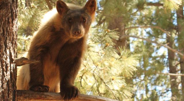 tahoe bear in tree photographer Crystal Ricotta