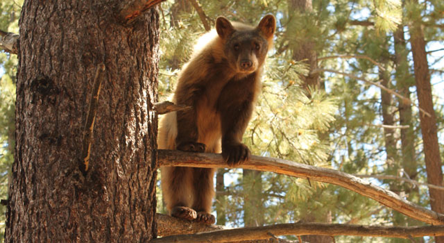 tahoe bear in tree near trout creek by Crystal Ricotta